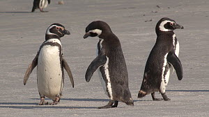 Group of Magellanic penguins (Spheniscus magellanicus) displaying on a beach, Gypsy Cove, Stanley, Falkland Islands.  -  Fred  Olivier