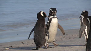 Pair of Magellanic penguins (Spheniscus magellanicus) displaying on a beach, Gypsy Cove, Stanley, Falkland Islands.  -  Fred  Olivier