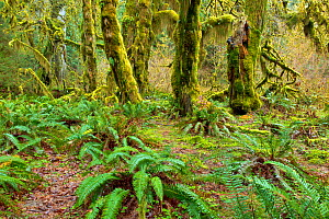 Hoh Rain Forest,  Hall of Mosses Trail, Olympic National Park, Washington, USA, March 2015. - Kirkendall-Spring
