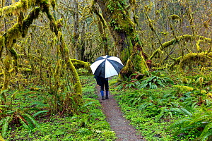 Person with umbrella hiking along the Hoh River Trail in Olympic National Park, Washington, USA, March 2015. Model released. - Kirkendall-Spring