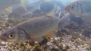 Shoal of Dace (Leuciscus leuciscus) feeding in the River Kennet, Berkshire, England, UK, March. - John Waters
