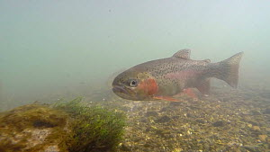 Small group of Rainbow trout (Oncorhynchus mykiss) swimming in the River Kennet, Berkshire, England, UK, March.  -  John Waters