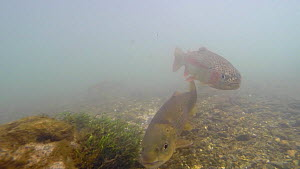 Rainbow trout (Oncorhynchus mykiss) and Brown trout (Salmo trutta) swimming in the River Kennet, Berkshire, England, UK, March.  -  John Waters