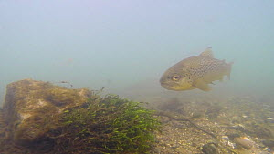 Brown trout (Salmo trutta) swimming in the River Kennet, Berkshire, England, UK, March. - John Waters