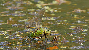 Female Emperor dragonfly (Anax imperator) laying eggs, Bedfordshire, England, UK, June. - Dave Bevan