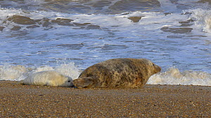 Grey seal (Halichoerus grypus) pup trying to suckle, Norfolk, England, UK, January. - Dave Bevan