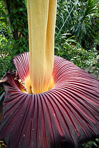 Titan arum (Amorphophallus titanum), in flower. Cultivated specimen in botanic garden, native to Sumatra. Kew Gardens, London, UK. 23 April 2016 This species has the largest unbranched flower inflores...  -  Michael Hutchinson