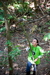 Rosamra Guillen, director of Project / Proyecto Titi  observing wild Cotton top tamarin (Saguinus oedipus) in tropical dry forest, Colombia Critically endangered species.  -  Lisa  Hoffner