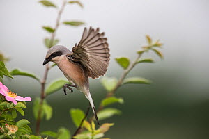 Red-backed shrike (Lanius collurio) adult male taking off,  Lower Saxony, Germany, June. Sequence 1 of 3  -  Kerstin  Hinze