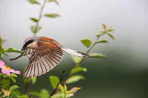 Red-backed shrike (Lanius collurio) adult male taking off,  Lower Saxony, Germany, June. Sequence 2 of 3  -  Kerstin  Hinze