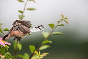 Red-backed shrike (Lanius collurio) adult male taking off,  Lower Saxony, Germany, June. Sequence 3 of 3  -  Kerstin  Hinze