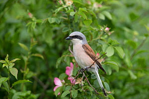 Red-backed shrike (Lanius collurio) adult male, Braunschweig, Lower Saxony, Germany, June.  -  Kerstin  Hinze