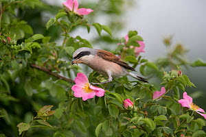 Red-backed shrike (Lanius collurio) adult male, with insect prey in its beak,  Lower Saxony, Germany, June.  -  Kerstin  Hinze