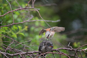 Red backed shrike (Lanius collurio) attacking Common cuckoo (Cuculus canonus) juvenile, Lower Saxony, Germany. July.  -  Kerstin  Hinze