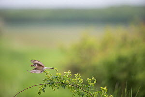 Red-backed shrike (Lanius collurio) taking off with prey, Lower Saxony, Germany, May.  -  Kerstin  Hinze