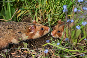 European hamster (Cricetus cricetus) male and female together in grass, captive - Kerstin  Hinze