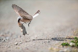 Red-backed shrike (Lanius collurio) flying with bank vole (Myodes glareolus) Lower Saxony, Germany, May.  -  Kerstin  Hinze