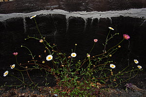 Common daisies (Bellis perennis) growing through pavement against low street wall, Bristol, UK, January.  -  Michael Hutchinson