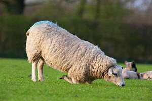 Domestic Sheep kneeling, this sheep has painful front feet most  likely due to overgrown hooves, Gloucestershire, UK, March - Michael Hutchinson