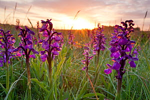 Green-winged orchids (Anacamptis morio) at sunrise, Ashton Court Park, Bristol, UK, May  -  Michael Hutchinson