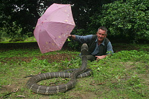 Presenter Nigel Marven distracting  King cobra (Ophiophagus hannah) with pink umbrella, China, May 2013.  -  Michael Hutchinson