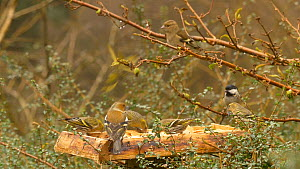 Mixed flock of Common chaffinches (Fringilla coelebs), Coal tits (Periparus ater) and Eurasian siskins (Carduelis spinus) feeding from a bird table, Carmarthenshire, Wales, UK, February.  -  Dave Bevan