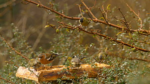 European nuthatch (Sitta europaea) chasing away a mixed flock of Common chaffinches (Fringilla coelebs), Coal tits (Periparus ater) and Eurasian siskins (Carduelis spinus) feeding from a bird table, C...  -  Dave Bevan