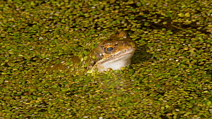 European common frog (Rana temporaria) in a pond, closing its nictating membranes to lubricate its eyes, Carmarthenshire, Wales, UK, February. - Dave Bevan