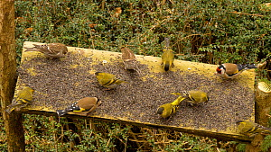 Eurasian siskins (Carduelis spinus), Lesser redpolls (Carduelis cabaret) and Goldfinches (Carduelis carduelis) feeding from a bird table, Carmarthenshire, Wales, UK, February.  -  Dave Bevan