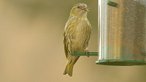 Female Eurasian siskin (Carduelis spinus) feeding from a bird feeder, Carmarthenshire, Wales, UK, February.  -  Dave Bevan