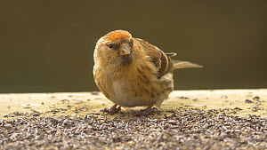 Female Lesser redpoll (Carduelis cabaret) feeding from a bird table, Carmarthenshire, Wales, UK, February.  -  Dave Bevan