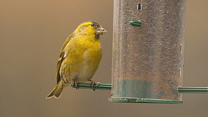 Male Eurasian siskin (Carduelis spinus) feeding from a bird feeder, Carmarthenshire, Wales, UK, February.  -  Dave Bevan