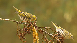 Two female Eurasian siskins (Carduelis spinus) squabbling whilst feeding from Alder (Alnus) cones, Carmarthenshire, Wales, UK, February.  -  Dave Bevan