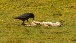 Carrion crow (Corvus corone) feeding on a dead lamb, Carmarthenshire, Wales, UK, March. - Dave Bevan
