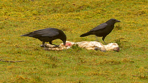 Two Carrion crows (Corvus corone) feeding on a dead lamb, Carmarthenshire, Wales, UK, March. - Dave Bevan