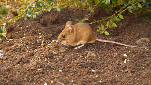 Wood mouse (Apodemus sylvaticus) feeding on  seeds on the ground beneath a bird table, Carmarthenshire, Wales, UK, March.  -  Dave Bevan