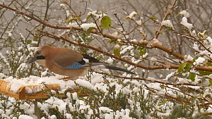 Jay (Garrulus glandarius) feeding from a snow covered bird table, Carmarthenshire, Wales, UK, March.  -  Dave Bevan
