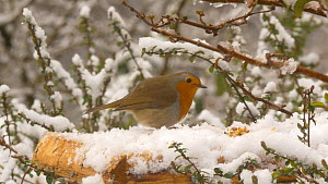 Robin (Erithacus rubecula) feeding from a snow covered bird table, chasing a male Common chaffinch (Fringilla coelebs), Carmarthenshire, Wales, UK, March.  -  Dave Bevan