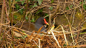 Moorhen (Gallinula chloropus) settling on nest to incubate eggs and preening, Carmarthenshire, Wales, UK, March.  -  Dave Bevan