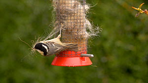 Coal tit (Periparus ater) pulling wool from a bird feeder to use as nesting material, Carmarthenshire, Wales, UK, March.  -  Dave Bevan