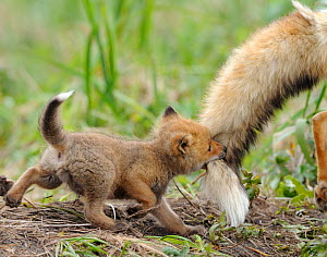 Red fox (Vulpes vulpes) cub biting tail of adult male, Kronotsky Zapovednik Nature Reserve, Kamchatka Peninsula, Russian Far East. June. - Igor  Shpilenok
