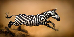 Zebra (Equus quagga) leaping during stampede, Serengeti, Tanzania. Vignette added and right edge expanded.  -  Wim van den Heever