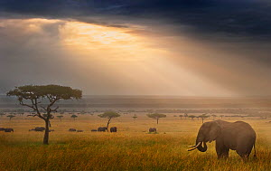 Tranquil landscape with African elephant (Loxodonta africana) and rays of sunlight at sunrise, Masai Mara, Kenya.  -  Wim van den Heever
