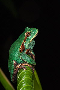 Marsupial frog (Gastrotheca orophylax) calling, captive occurs in Colombia and Ecuador.  -  Pete Oxford