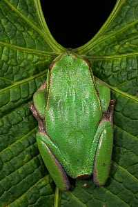 Marsupial frog (Gastrotheca orophylax) captive, occurs in Colombia and Ecuador. Endangered species.  -  Pete Oxford