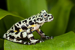 Tiger tree frog (Hyloscirtus tigrinus) captive, endemic to Ecuador. - Pete Oxford