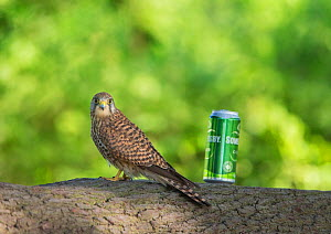 Common kestrel (Falco tinnunculus) female perched on tree branch, next to can of cider, illustrating it's small size. Hampstead Heath, London, England, UK. June.  -  Matthew Maran