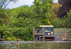 Great crested grebe (Podiceps cristatus) on pond  with chick in front of life guard hut, Hampstead Heath, London, England, UK. May 2014. - Matthew Maran