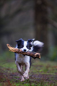 Black and white border collie with stick, Hampstead Heath, England, UK, March. - Matthew Maran