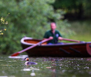 Great crested grebe (Podiceps cristatus) with rower in the background, Hampstead Heath, London, England, UK. June.  -  Matthew Maran
